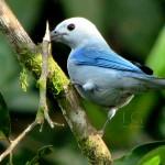 Blue Grey Tanager