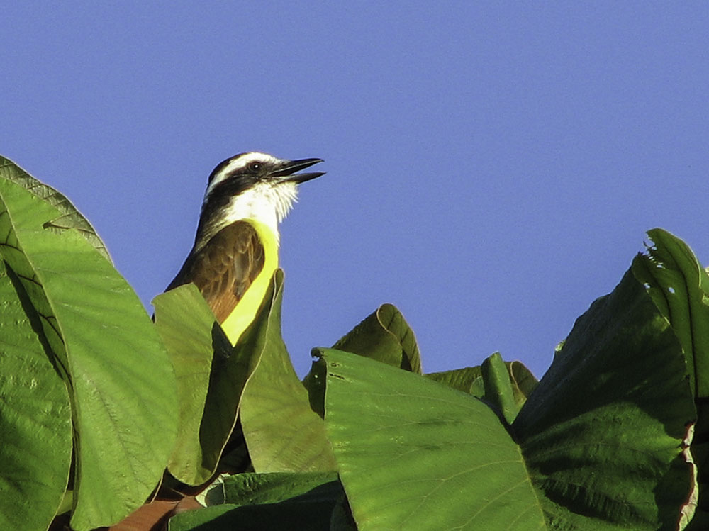 Kiskadee Singing