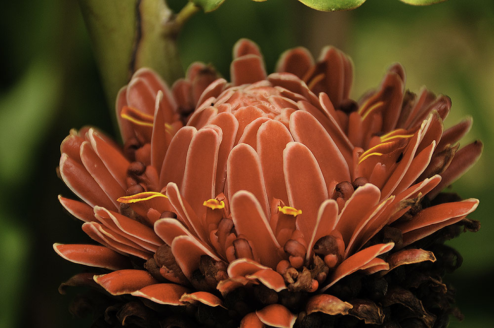 Torch Ginger 1
