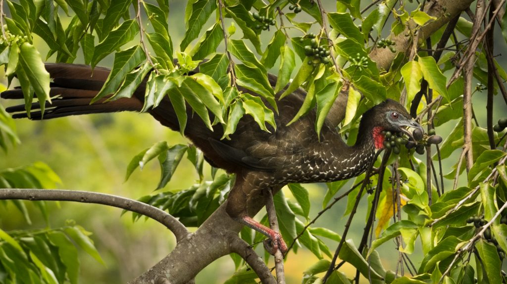 Crested Guan Eating Ylang Ylang Fruits