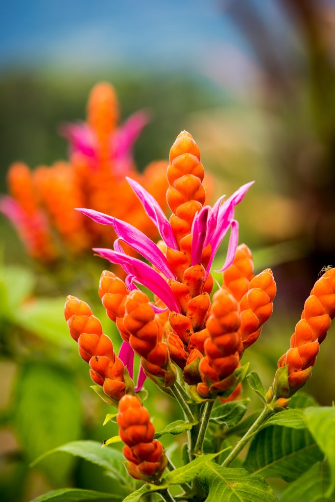 Orange-&-PInk-Flower